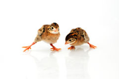 Guinea Fowl baby chicken. On white background stock photos