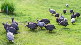 Guinea-fowl. Guinea-fowl Birds Guinea-fowl birds closeup farmlands Stock Image