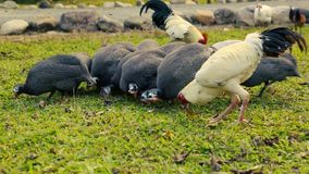 Guinea fowl chickens and roosters pecking. stock video