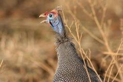 Guinea Fowl close-up Stock Image
