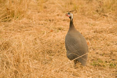 Guinea fowl on dry grass Royalty Free Stock Photo