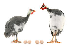 Guinea fowl. And egg  isolated on a white background in studio Royalty Free Stock Image