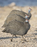 Guinea fowl Royalty Free Stock Photography