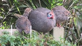 Guinea Fowl Family stock images