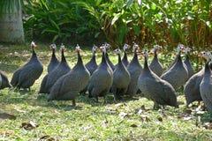 Guinea fowl Stock Image