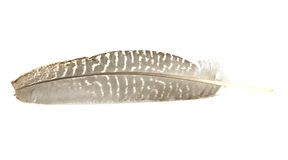 Guinea Fowl Feather Royalty Free Stock Photography