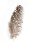 Guinea fowl feather. On white background stock photography