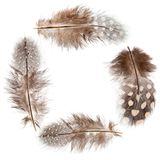 Guinea fowl feather frame Stock Images