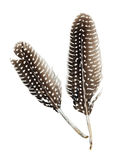 Guinea fowl feathers. Two feathers of a guinea fowl isolated royalty free stock images