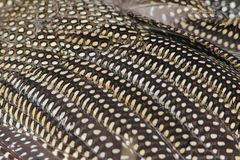 Guinea Fowl Feathers - Nature Pattern Background Stock Image