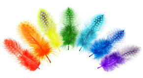 Guinea fowl feathers are painted in bright colors of the rainbow Royalty Free Stock Photo