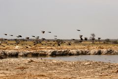 Guinea Fowl flying across the veld. Guinea fowl make excellent guard dogs, as they are very noisy stock photography