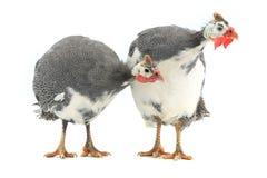 Guinea fowl Royalty Free Stock Photos