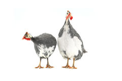 Guinea fowl Stock Photos