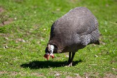 Guinea fowl on the grass in the park.  royalty free stock image
