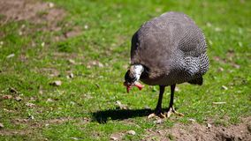 Guinea fowl on the grass in the park.  royalty free stock photography