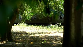 Guinea fowl on the grass. Poultry, farm, agriculture. Guinea fowl graze in the garden stock footage