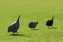 Guinea fowl on greem grass Royalty Free Stock Photos