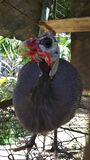 Guinea fowl/Ancient chicken royalty free stock photo