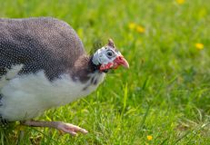 Guinea fowl. Strutting around on grass Stock Photography