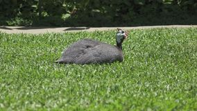 Guinea fowl Guinean chicken on a green grass.  stock footage