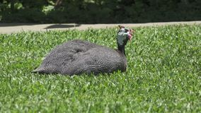 Guinea fowl Guinean chicken on a green grass.  stock video footage