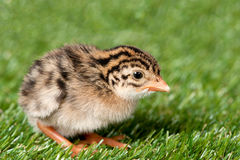 Guinea fowl hatchling. A guinea fowl hatchling is exposed on a patch of grass Royalty Free Stock Photo