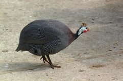 Guinea fowl hen  Royalty Free Stock Images