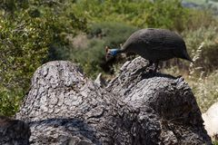 Guinea Fowl on a log. Aflightless guinea fowl perches on log and looks down at the bark Royalty Free Stock Images