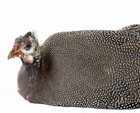 Guinea fowl Royalty Free Stock Images