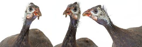 Guinea fowl Stock Photo