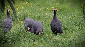 Guinea Fowl stock video footage