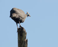 Guinea fowl on a pole. A Helmet Guinea Fowl standing on a dead tree on lookout duty Royalty Free Stock Photo