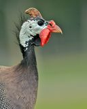 Guinea Fowl Portrait Stock Photo
