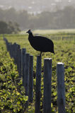 Guinea Fowl. On a post in a vineyard Royalty Free Stock Photography