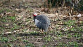 Guinea Fowl Profile Shot Stock Image