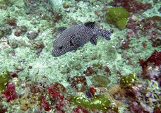 Guinea Fowl Puffer Royalty Free Stock Image