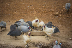 Guinea fowl, rooster and duck eating in farm. Royalty Free Stock Image