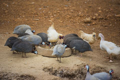 Guinea fowl, rooster and duck eating in farm. Stock Image