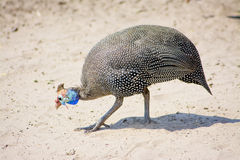 Guinea Fowl in the Sand stock images