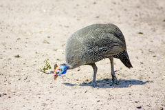 Guinea Fowl in the Sand Stock Photography