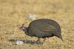 Guinea-fowl searching for food. Numida meleagris stock image
