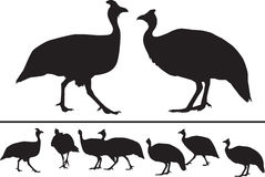 Guinea fowl silhouettes. Silhouettes of guinea fowls in different positions Stock Photos