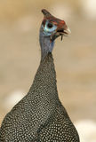 Guinea Fowl stock images