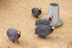 Guinea fowl `pet speckled hen `, or `original fowl ` or guineahen. Guinea fowl sometimes called `pet speckled hen `, or `original fowl ` or guineahen at farm royalty free stock photography