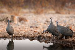 Guinea fowl at sunset. A flock of guineafowl come to drink at sunset Royalty Free Stock Photos