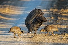 Guinea Fowl and Two Chicks Feeding on Dirt Road stock images