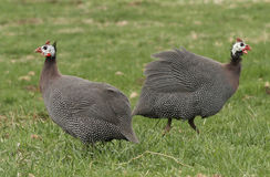 Guinea Fowl. Two Guinea Fowl in green grass Stock Photos
