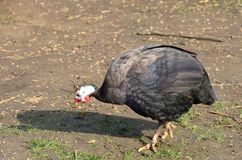 Guinea fowl walking Royalty Free Stock Image