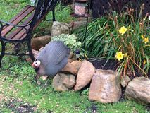 Guinea fowl. A guinea fowl walking by yellow daffodils Royalty Free Stock Photography